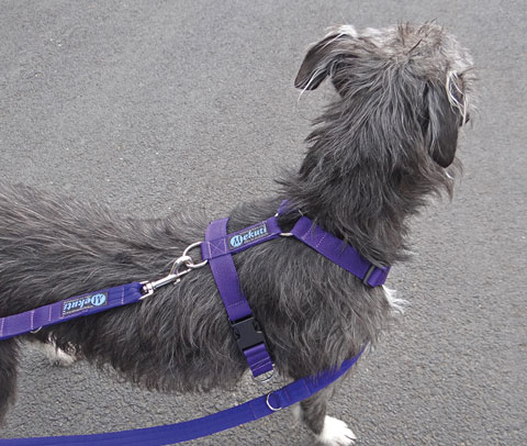 Mutley with purple harness