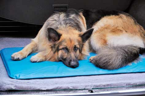GSD on Canine Cooler Bed