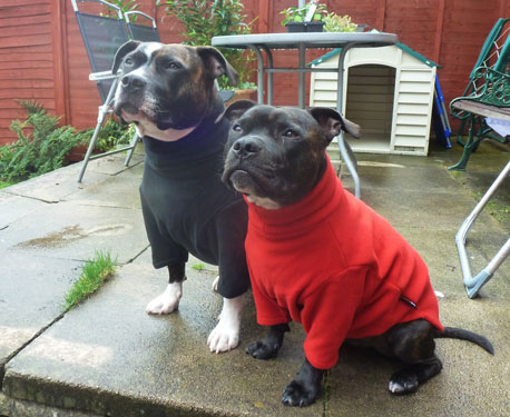 HotterDog jumpers on two staffies going on summer holiday!